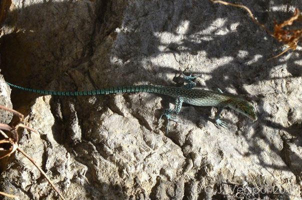 Sharp-snouted Rock Lizard - Dalmatolacerta oxycephala from Dubrovnik.