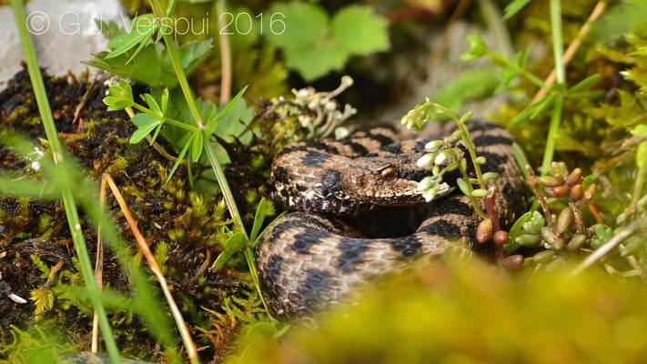 Swiss Asp viper - Vipera aspis 'atra'  In Situ