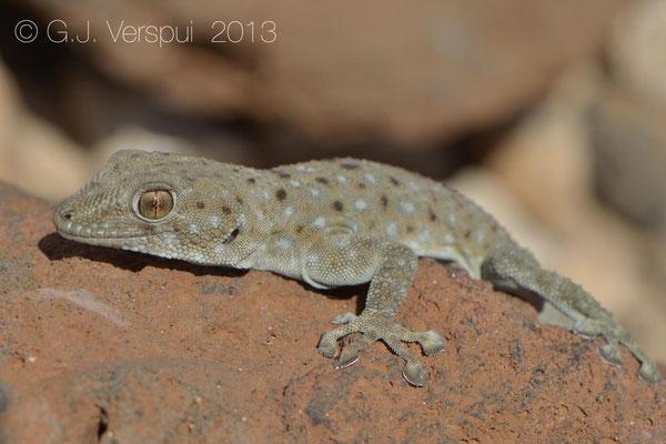 Israeli Fan-Fingered Gecko - Ptyodactylus puiseuxi