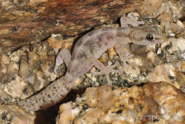 European Leaf-toed Gecko - Euleptes europaea    In Situ