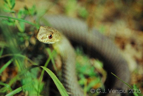 Eastern Montpellier Snake - Malpolon insignitus