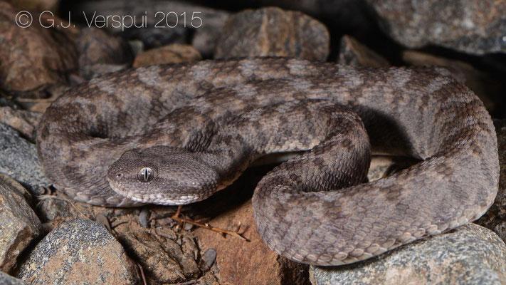 Second Echis omanensis
