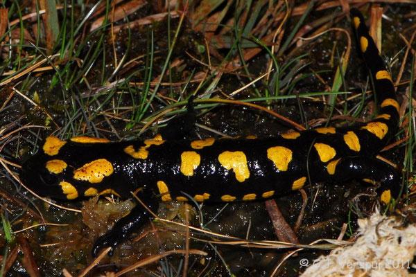 Fire Salamander - Salamandra salamandra almanzoris