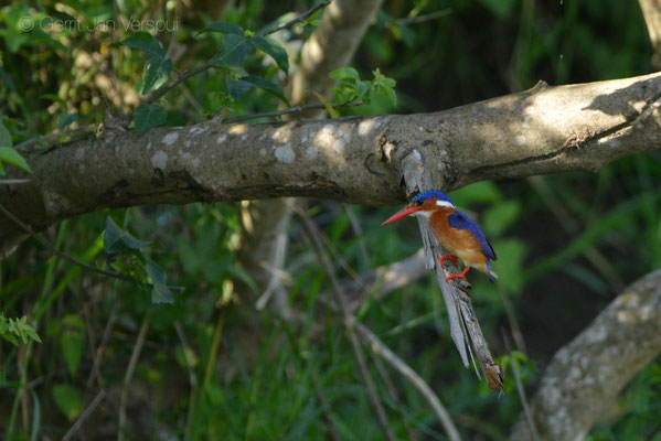 Malachite Kingfisher - Corythornis cristatus