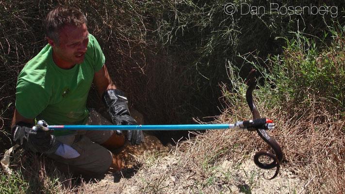 Me with a Black Desert Cobra - Walterinnesia aegyptia, © Dan Rosenberg