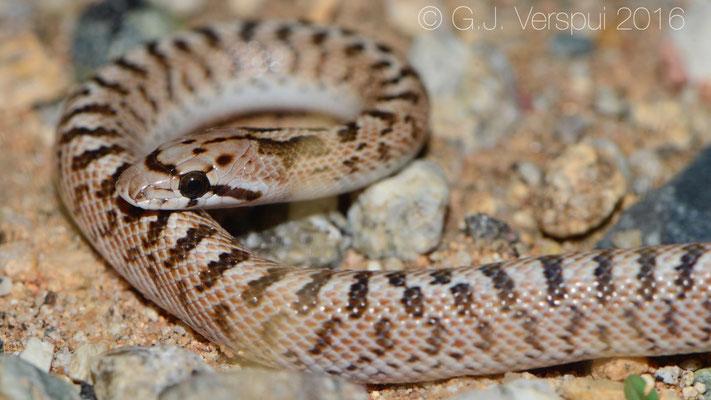 Desert Glossy Snake (Arizona elegans eburnata)