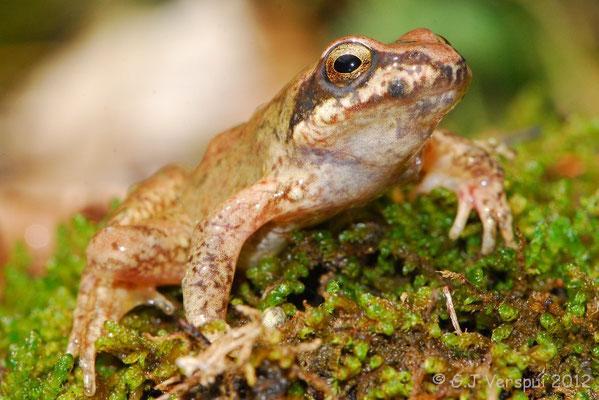 Pyrenean Stream Frog - Rana pyrenaica