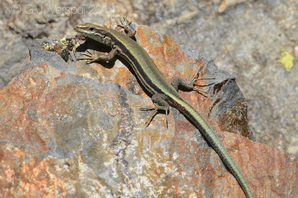Aurelio's Rock Lizard - Iberolacerta aurelioi