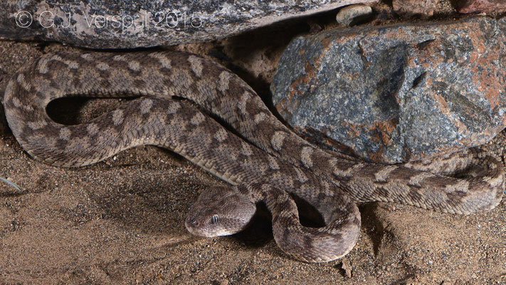 Third Echis omanensis