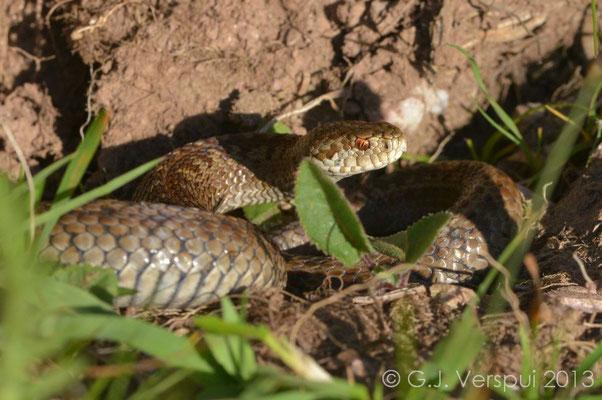 Meadow Viper - Vipera ursinii macrops   (5)   In Situ