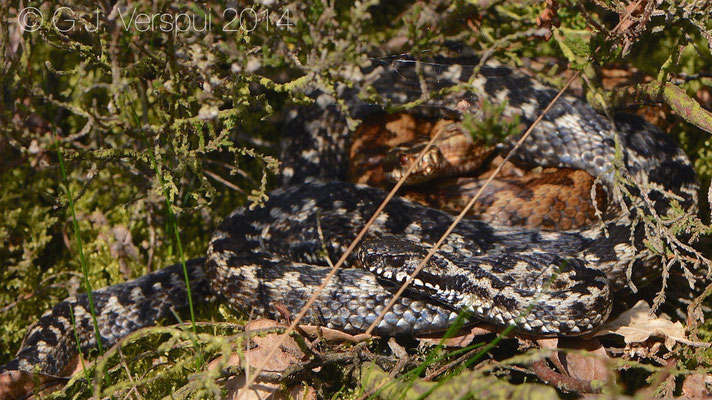 An other male Adder with his girl - Vipera berus, In Situ