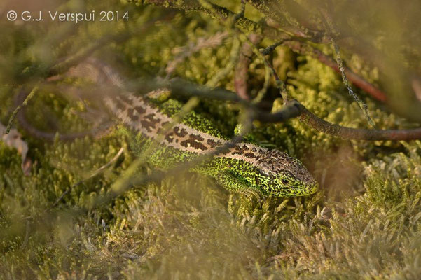 Sand Lizard - Lacerta agilis, In Situ