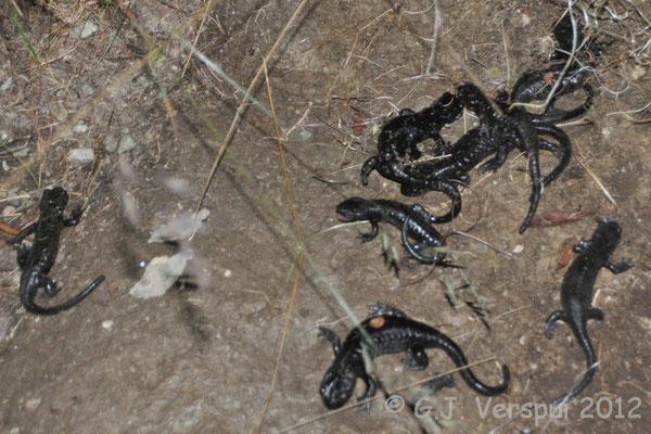 Lanza's Alpine Salamander - Salamandra lanzai   In Situ