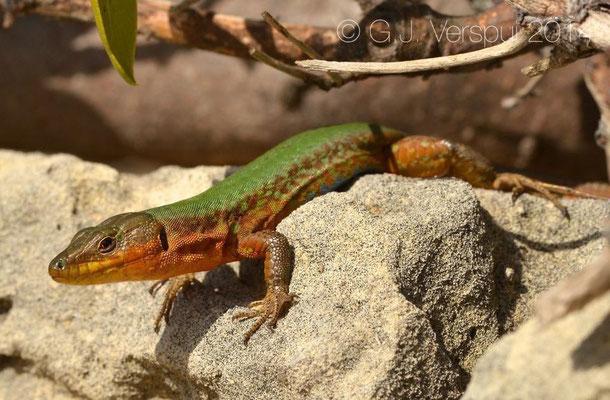 Maltese Wall Lizard - Podarcis filfolensis