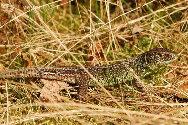 Male Sand Lizard - Lacerta agilis   In Situ