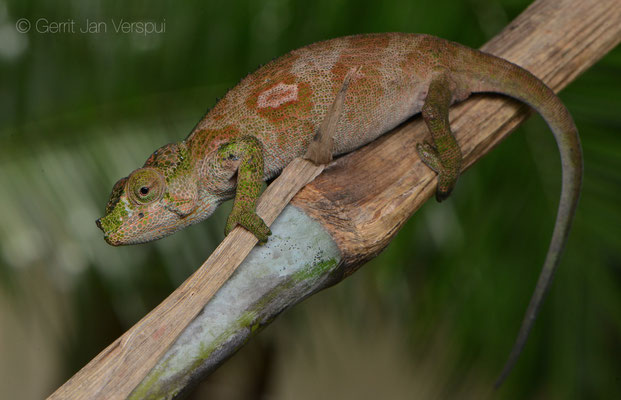 Female Rwenzori Plate-nosed Chameleon - Kinyongia xenorhina