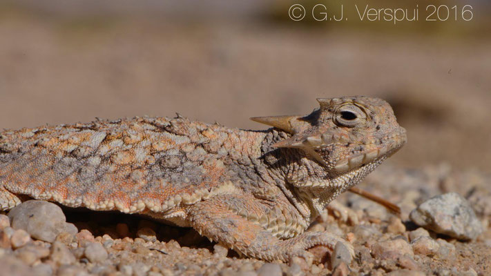 Desert Horned Lizard (Phrynosoma platyrhinos) Not In Situ