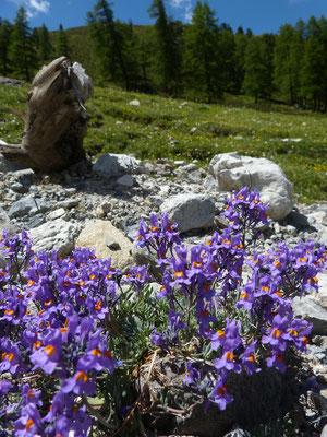 Alpenleeuwebekje