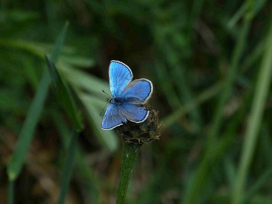 Een blauwtje