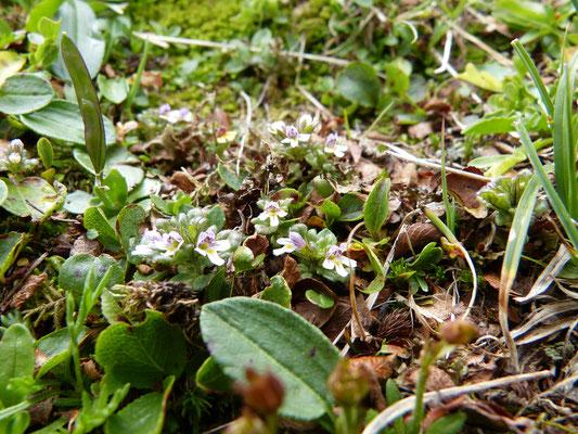 dwergogentroost met witte bloemen