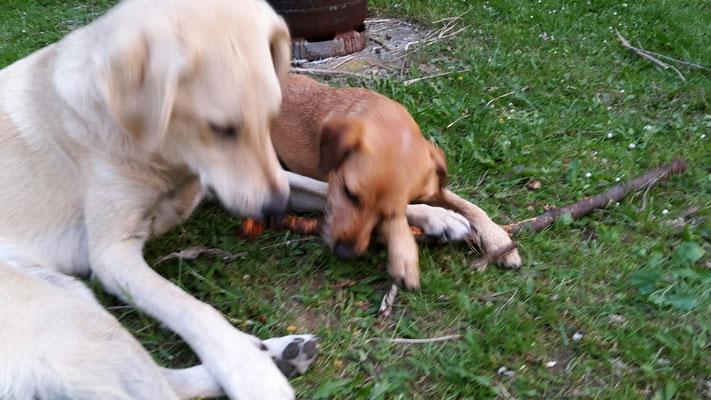 zwei Hunde, ein Stock