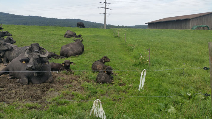 Wasserbüffel vom Bolderhof