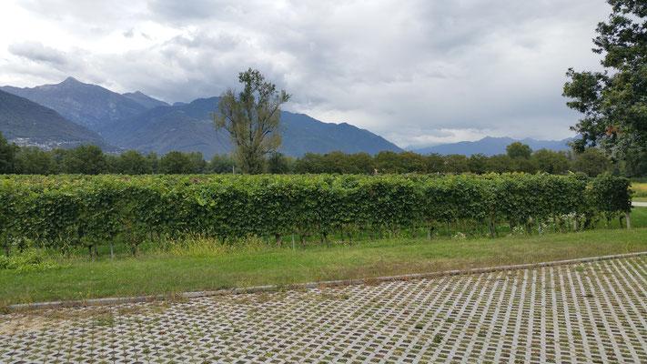 Weinreben 'Terreni alla Maggia'