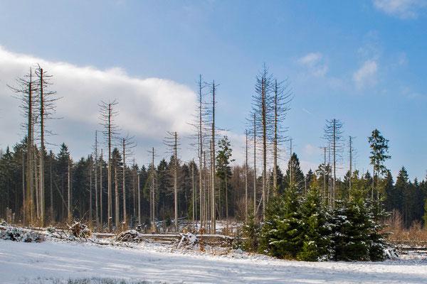 Borki's Paradise. Geschwächte Fichtenmonokulturen werden Opfer des Borkenkäfers. Großer Winterberg