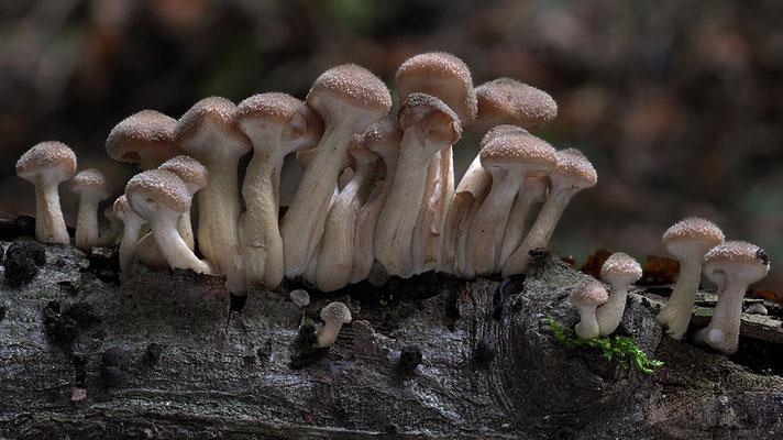 dunkler Hallimasch (Armillaria solidipes)