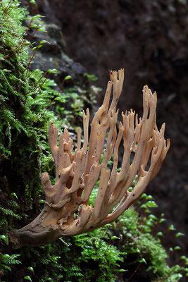 Steife Koralle (Ramaria Stricta)