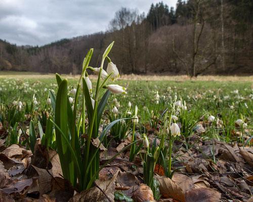 weite Auenlandschaft mit Frühlings-Knotenblume (Märzenbecher)