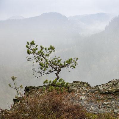 Riffkiefer am Großstein