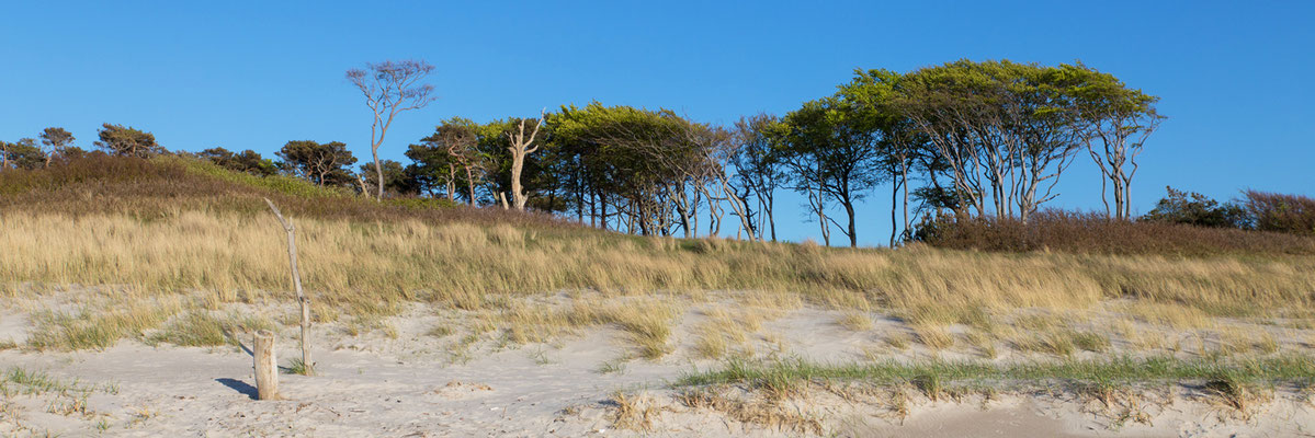 Windflüchter am Weststrand - Der Darß
