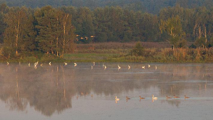 Oberlausitzer Heide-und Teichlandschaft.  Flugschau der Kraniche
