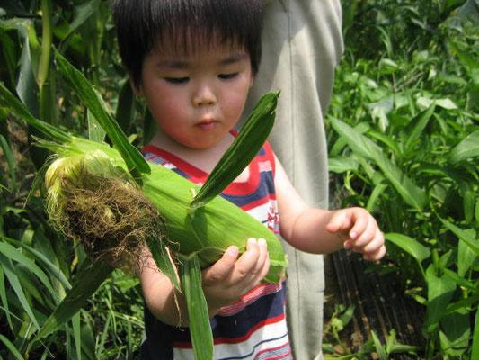 とうもろこしの収穫をした弟の写真