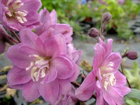 Rittersporn (Delphinium)