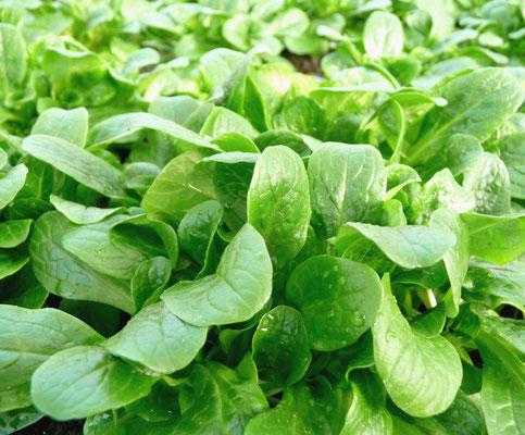 Feldsalat (Valerianella)