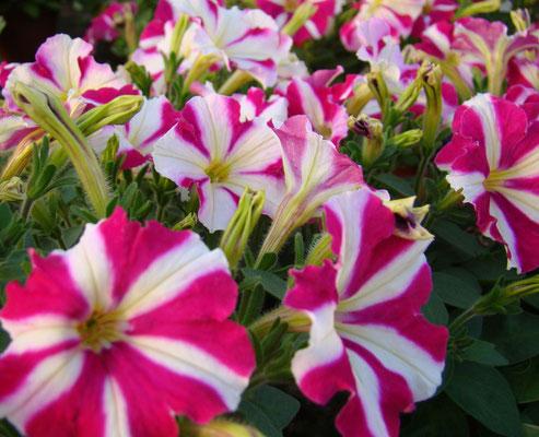 Petunie (Petunia)