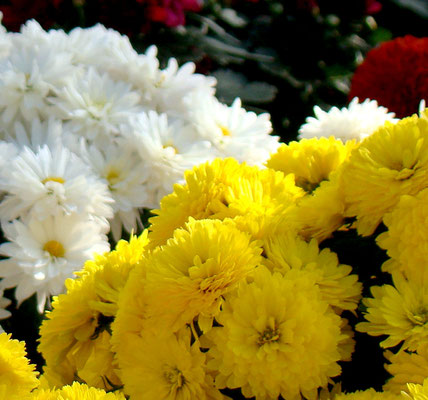 Chrysantheme (Chrysanthemum)