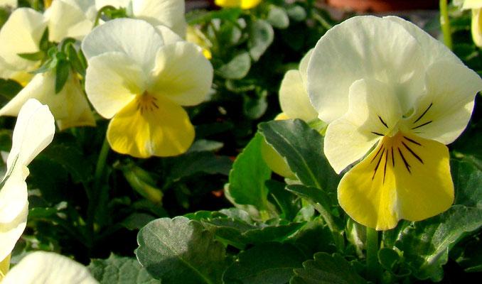 Hornveilchen (Viola cornuta)