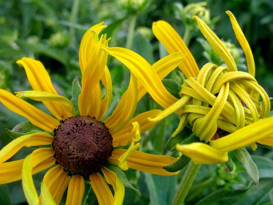 Sonnenhut (Rudbeckia) im Aufblühen