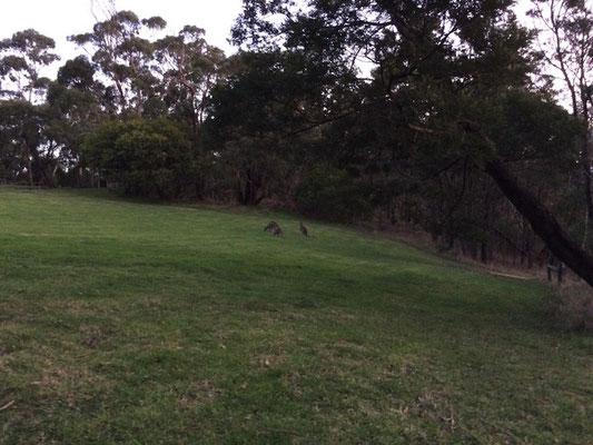 Zur Dämmerung kommen die Kängurus zum Futtern raus!