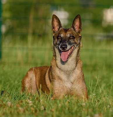 http://www.working-dog.eu/dogs-details/124447/Asturbox-Chicky