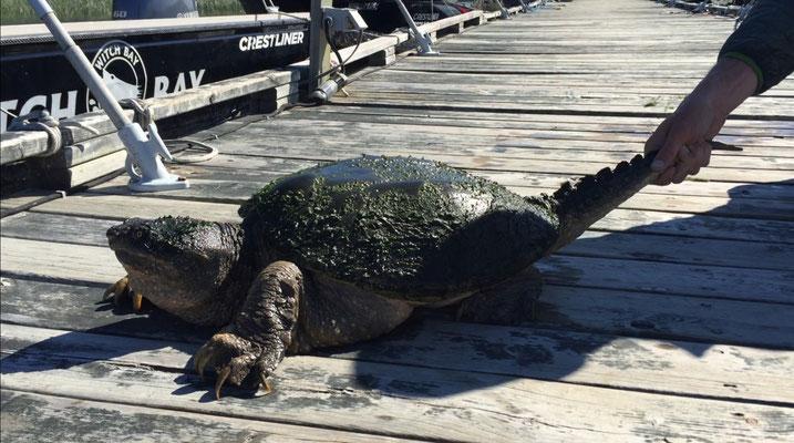 Große Schnappschildkröte