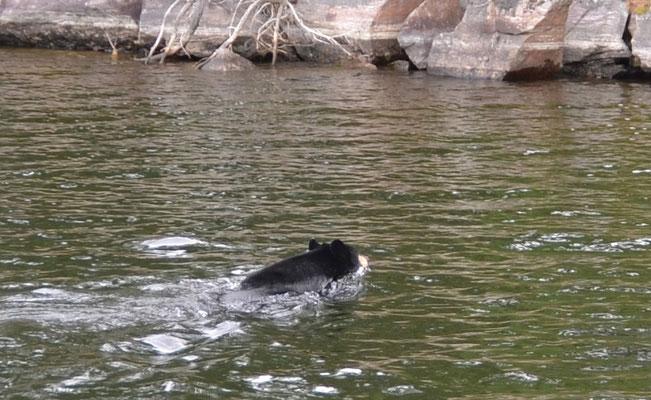Schwarzbär schwimmt