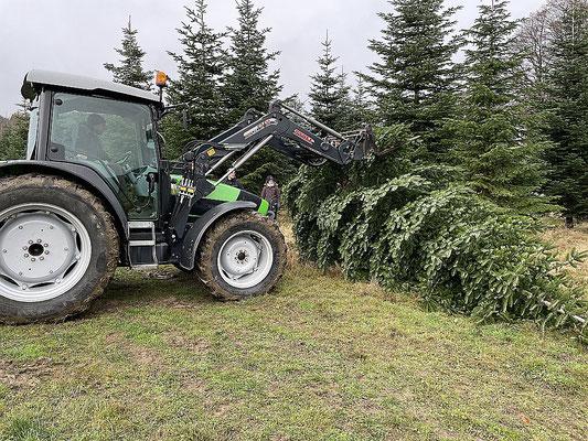 Unser diesjähriger Weihnachtsbaum stammt wieder aus Herzkamp