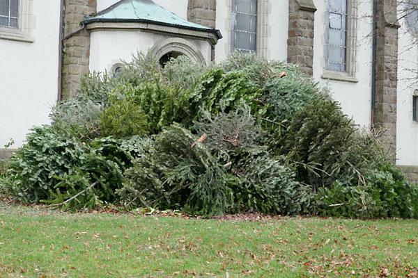 Bis zum Osterfest werden die Bäume hier trocknen und dann dem Osterfeuer übergeben