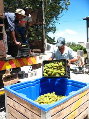 Weisse Trauben im Sammelbehälter