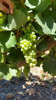 Weisse Weintrauben am Rebstock