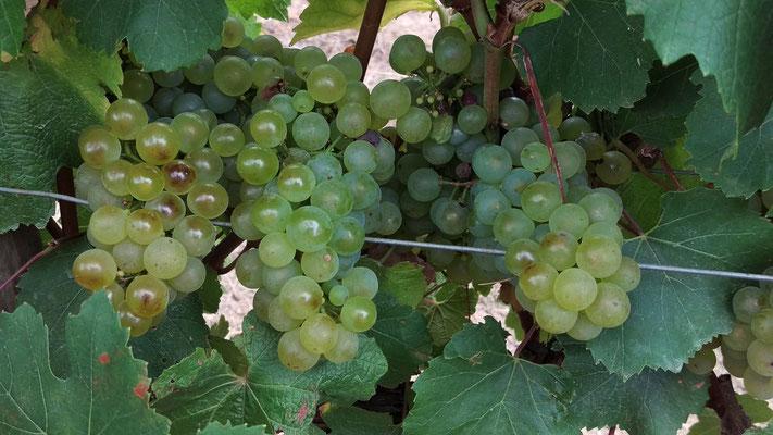 Weisse Weintrauben